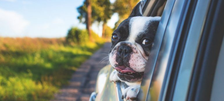 Dog peeking out of the car